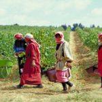 広大なレバノンのワイナリーで働く女性たち